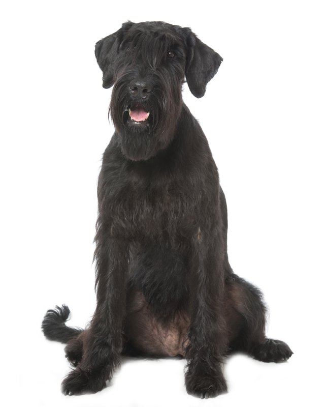Giant schnauzer for sale in puerto rico