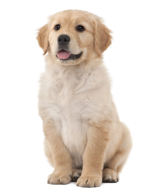 Golden Retriever Puppies For Sale In Ga