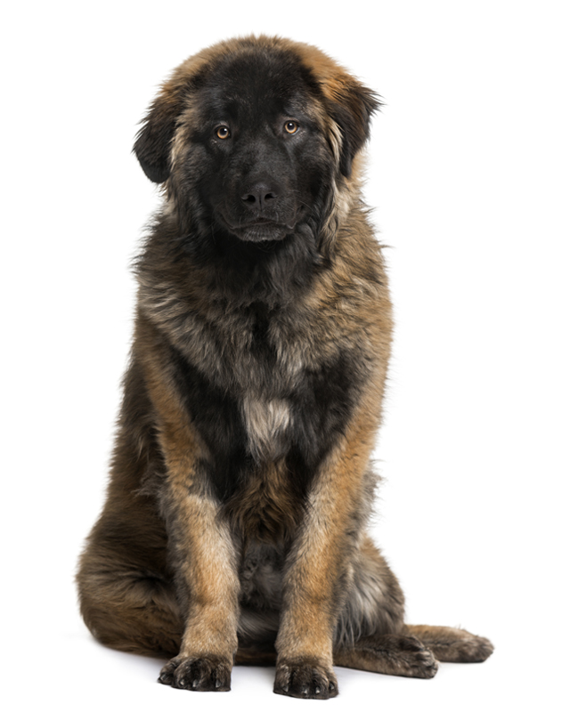 Leonberger picture