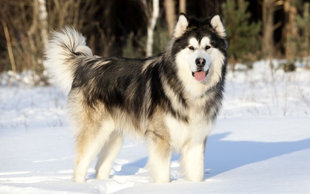 White with Black Alaskan Malamute picture