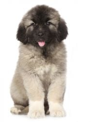 Caucasian Mountain Dog picture