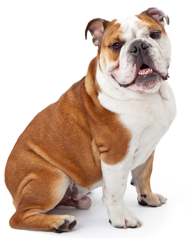 White with Markings Miniature English Bulldog picture