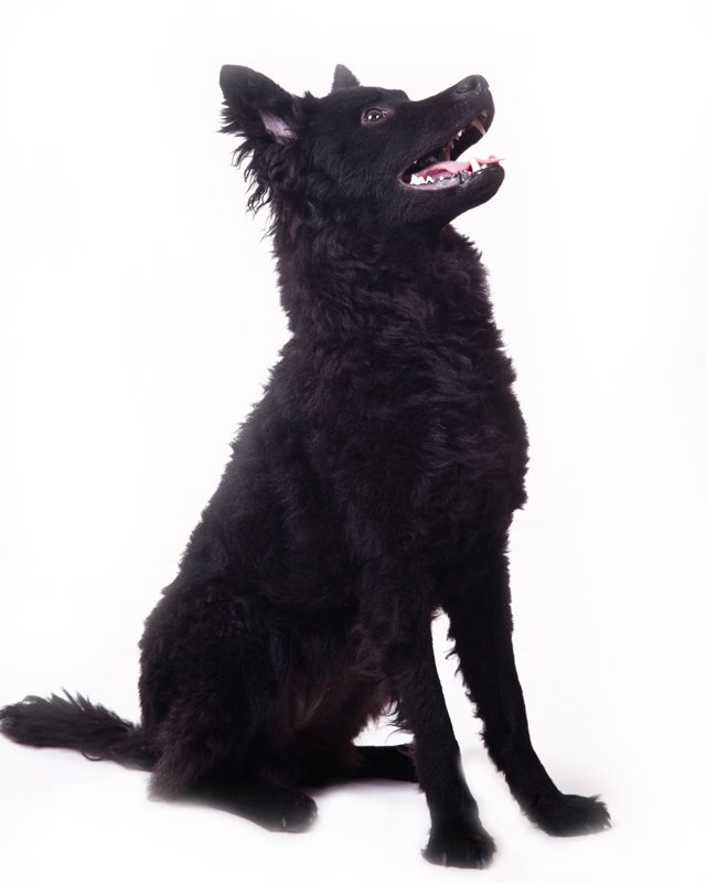 Mudi Breed Dog Breed Information Pictures