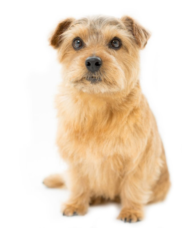 Norfolk Terrier Puppies Breed information & Puppies for Sale