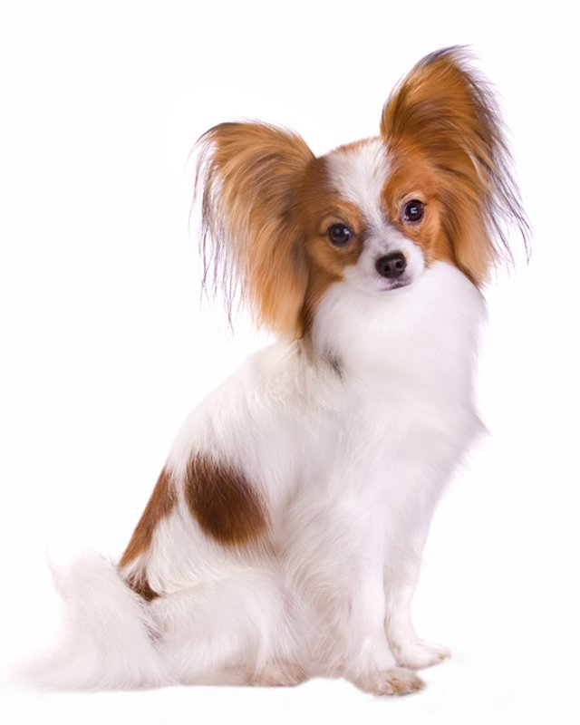 Papillon Puppies Breed Information Puppies For Sale