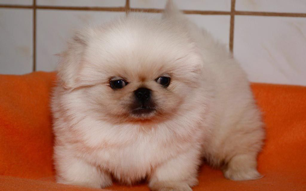 pekingese white puppy picture