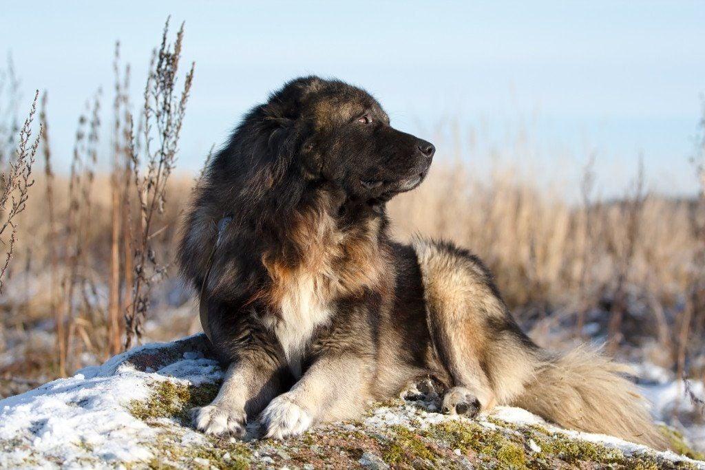 Caucasian Shepherd: family pet or ruthless killer? | Euro ...