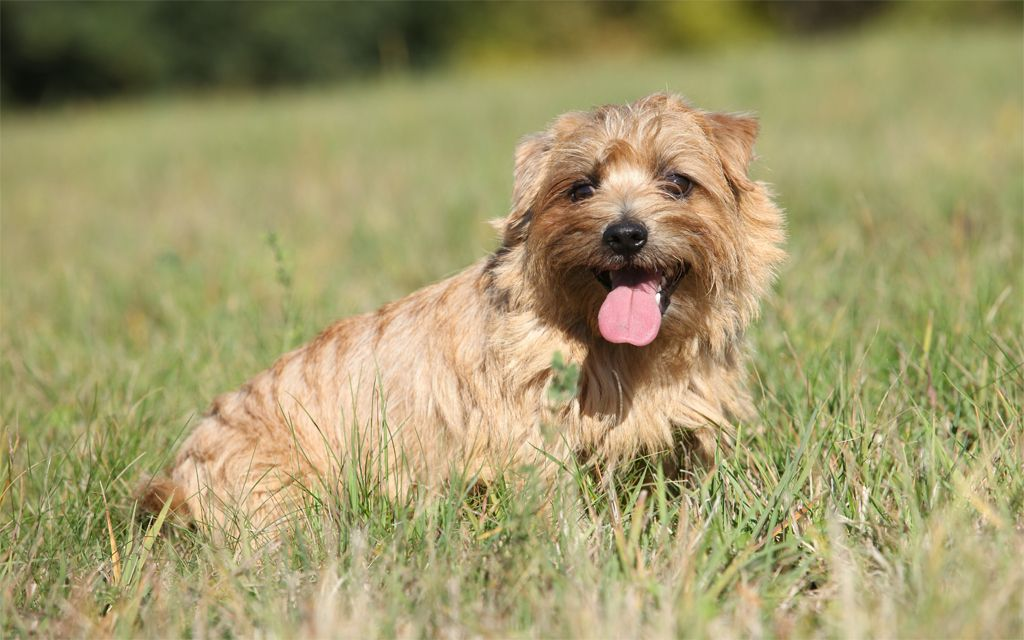 Norfolk Terrier image