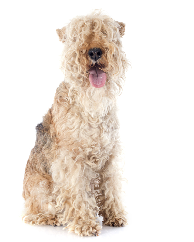 Lakeland Terrier Breed | Dog Breed information & Pictures