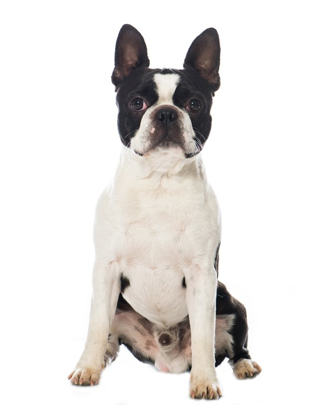Boston Terrier image