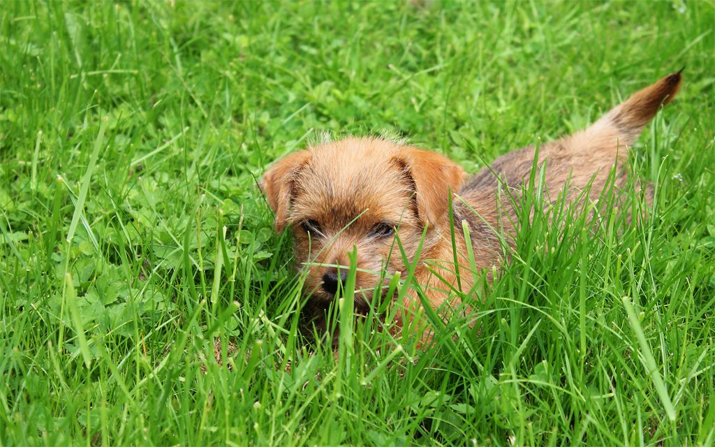 Norfolk Terrier Puppy pcture