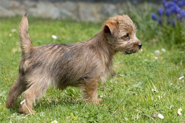 Norfolk Terrier Puppy picture