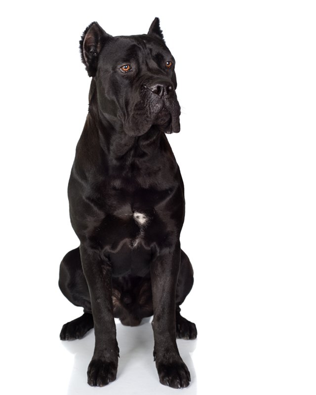 Italian Mastiff black picture