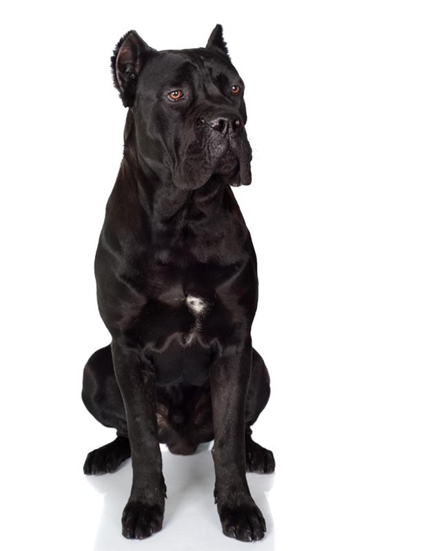 Italian Mastiff black picture