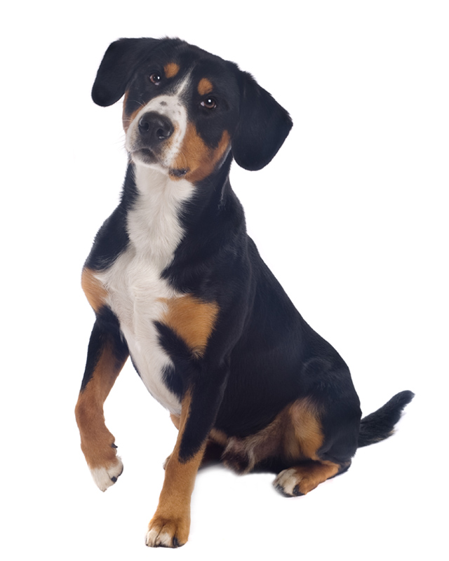 Greater Swiss Mountain Dog image