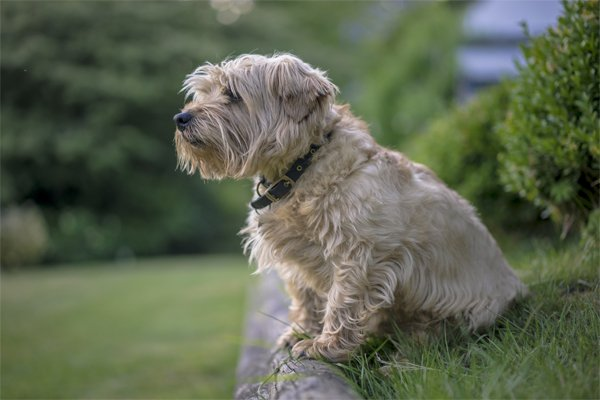 Norfolk Terrier picture