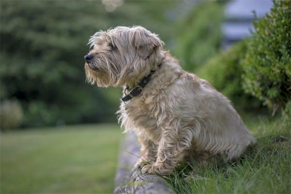 Norfolk Terrier picture