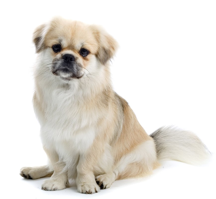tibetan spaniel puppies breed information & puppies for sale