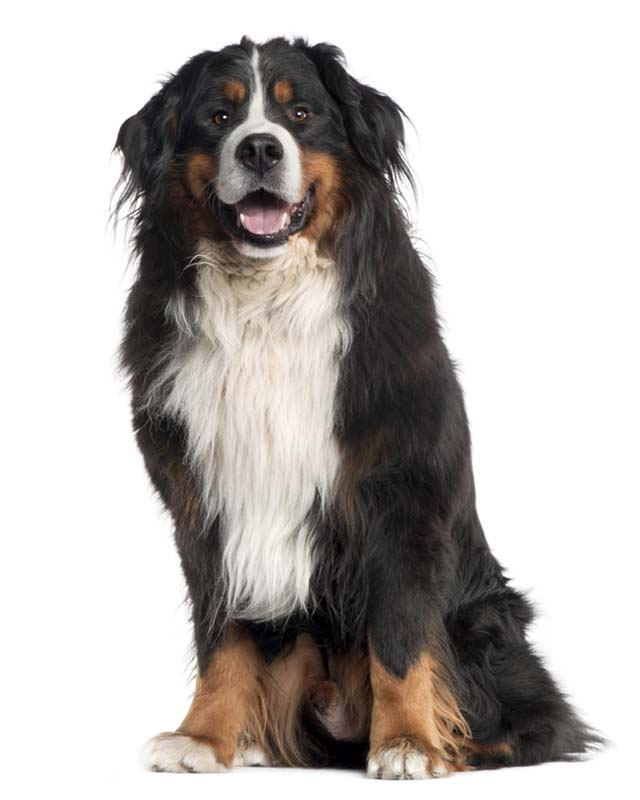 burmese mountain dog for sale