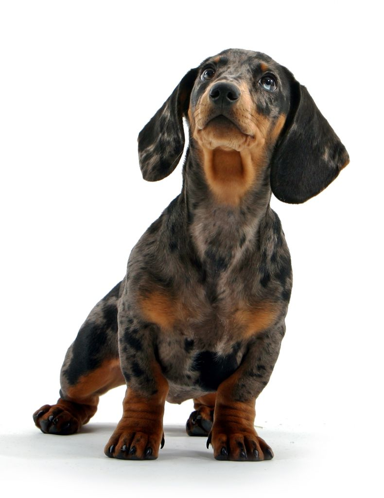 Dachshund Dog Breed Information & Pictures of Puppies