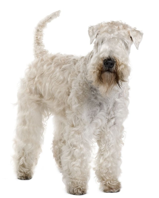 Soft Coated Weathen Terrier picture