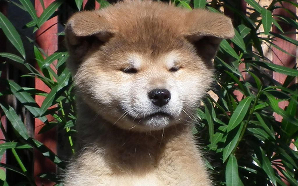 akita inu red picture