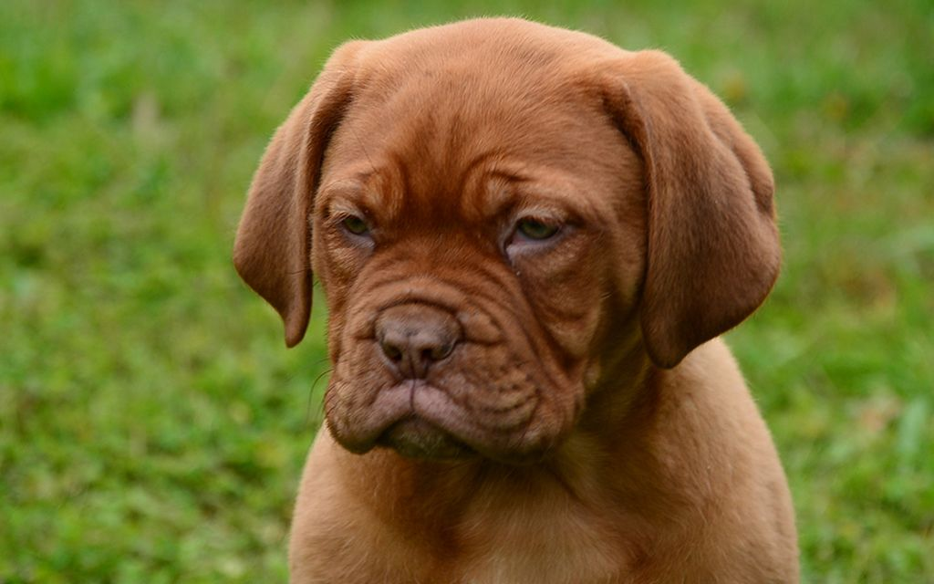 dogue de bordeaux puppy image