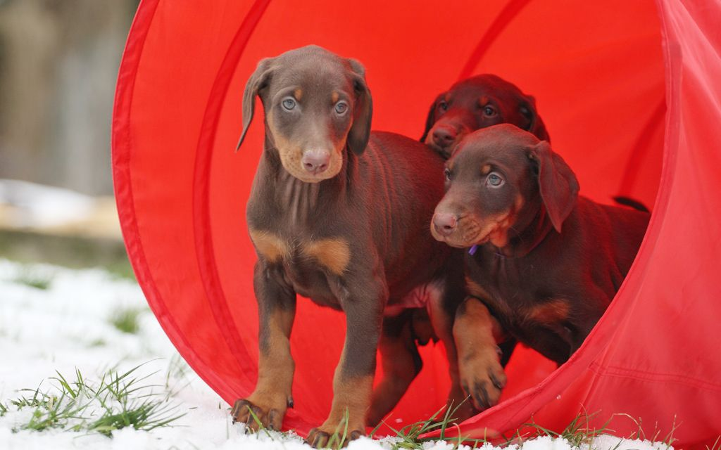 doberman red&tan puppies image