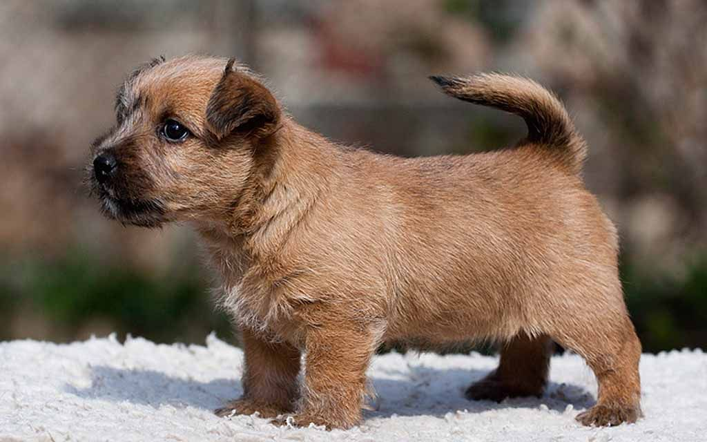 norwich terrier red puppy image