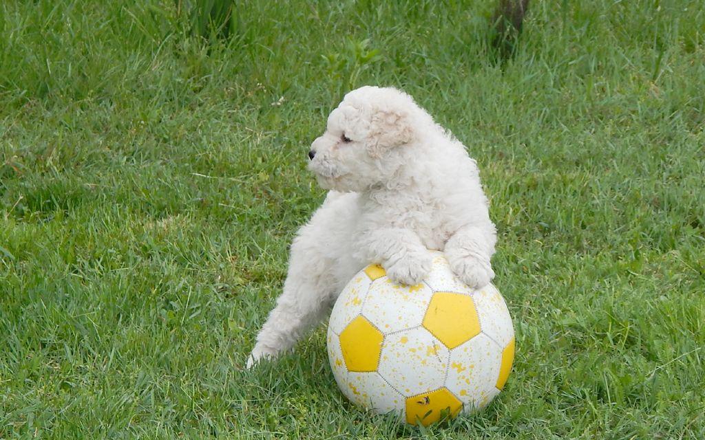 puli white puppy picture