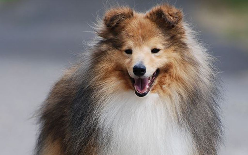 shetland sheepdog tri-color picture
