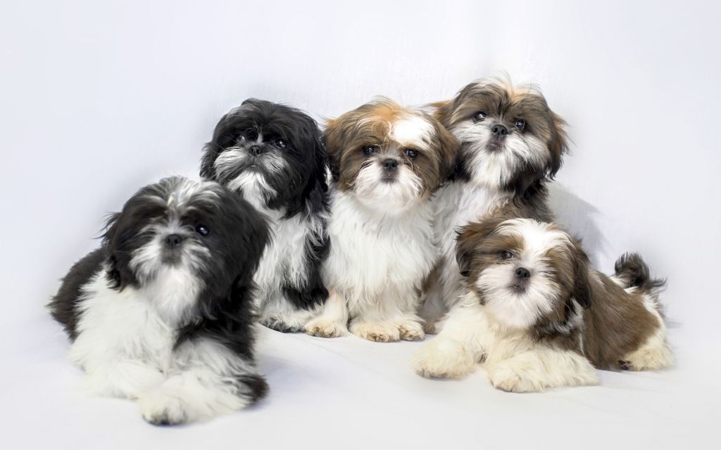 shih-tzu black&white liver&white puppies image