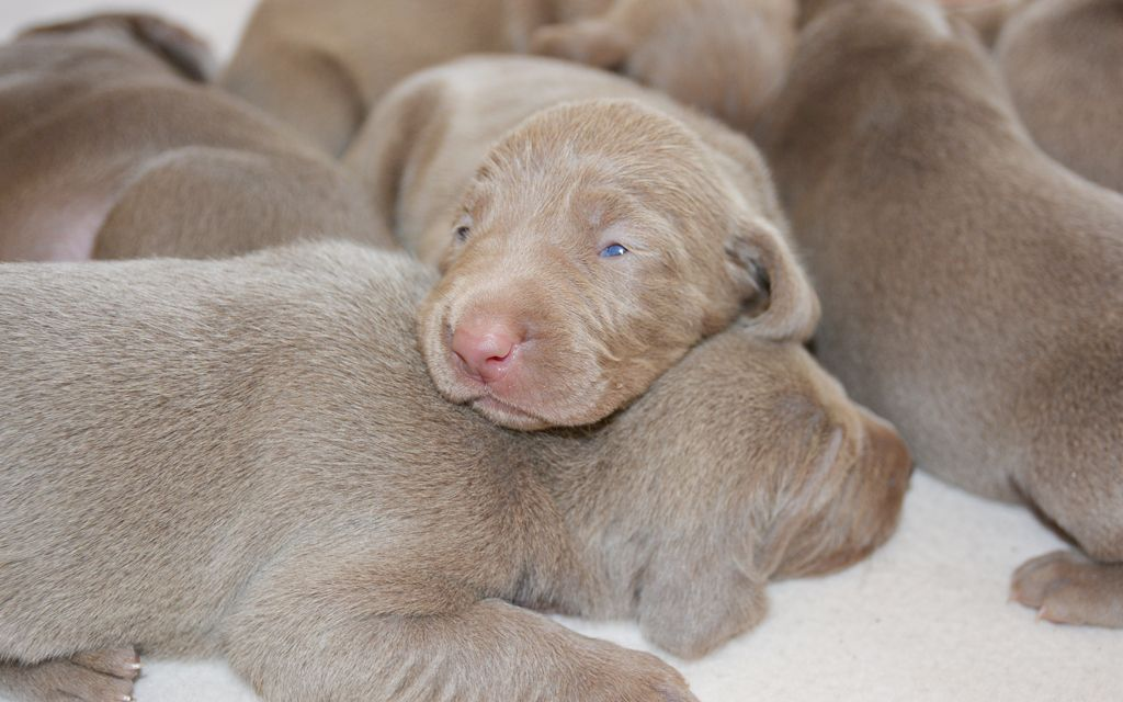 weimaraner grey puppies picture