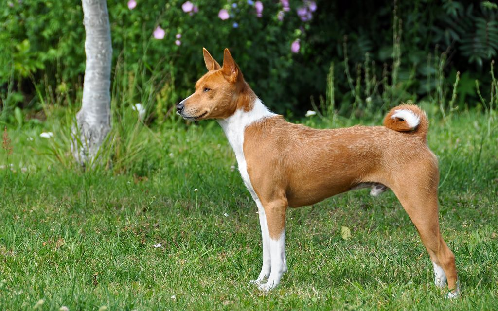 basenji chestnut red image