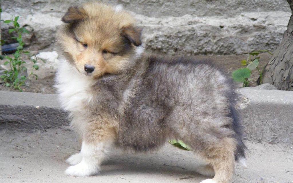 collie sable & white puppy image