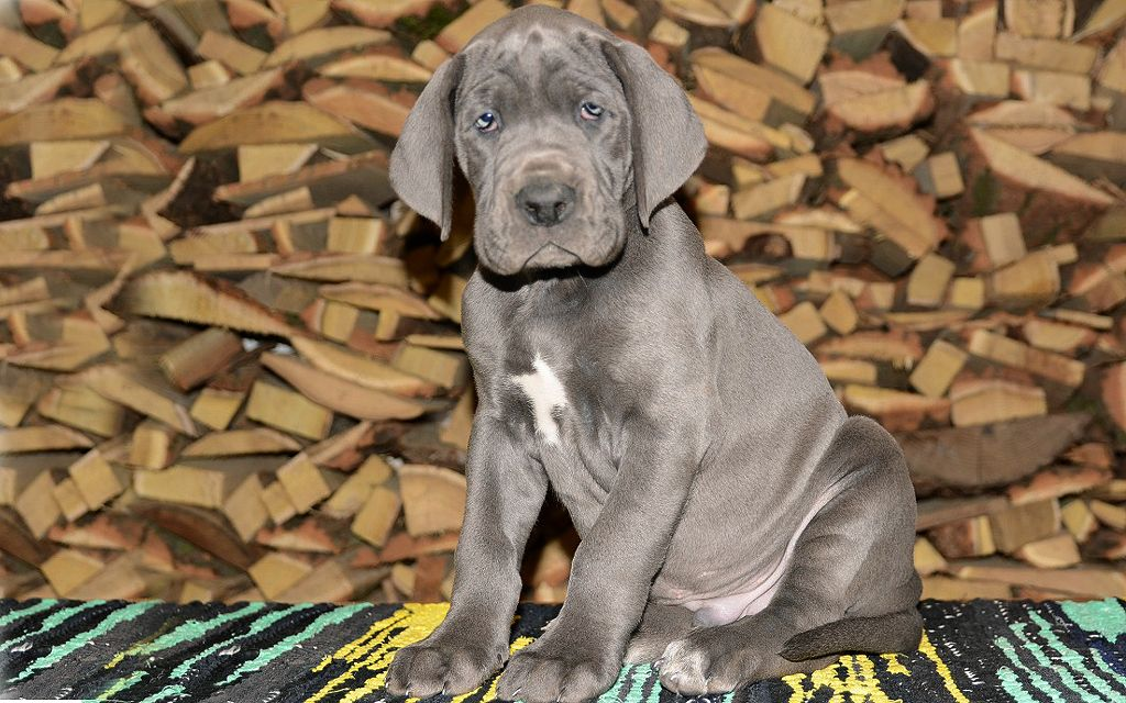 great dane blue puppy image