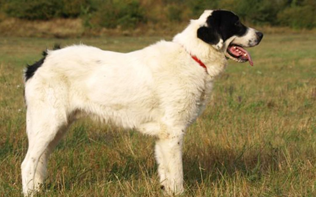 bucovina shepherd white with black marking picture