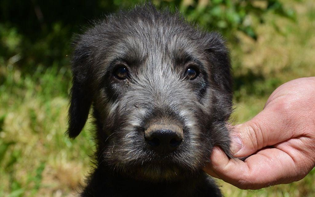 irish wolfhound gray picture