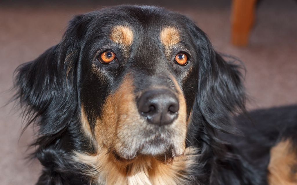 hovawart black&tan picture