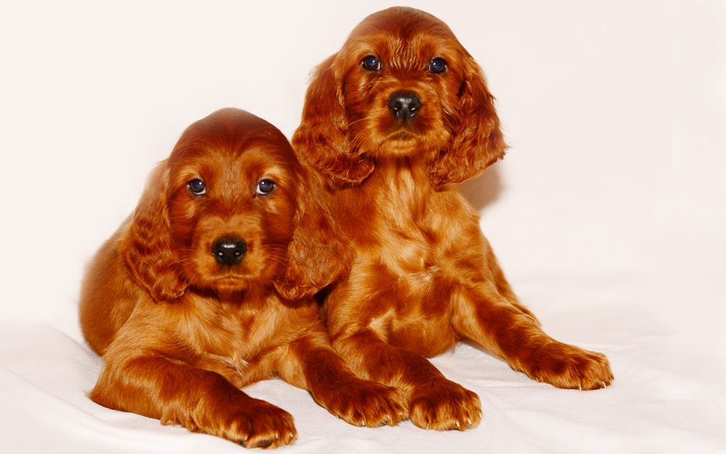 irish setter red puppies picture