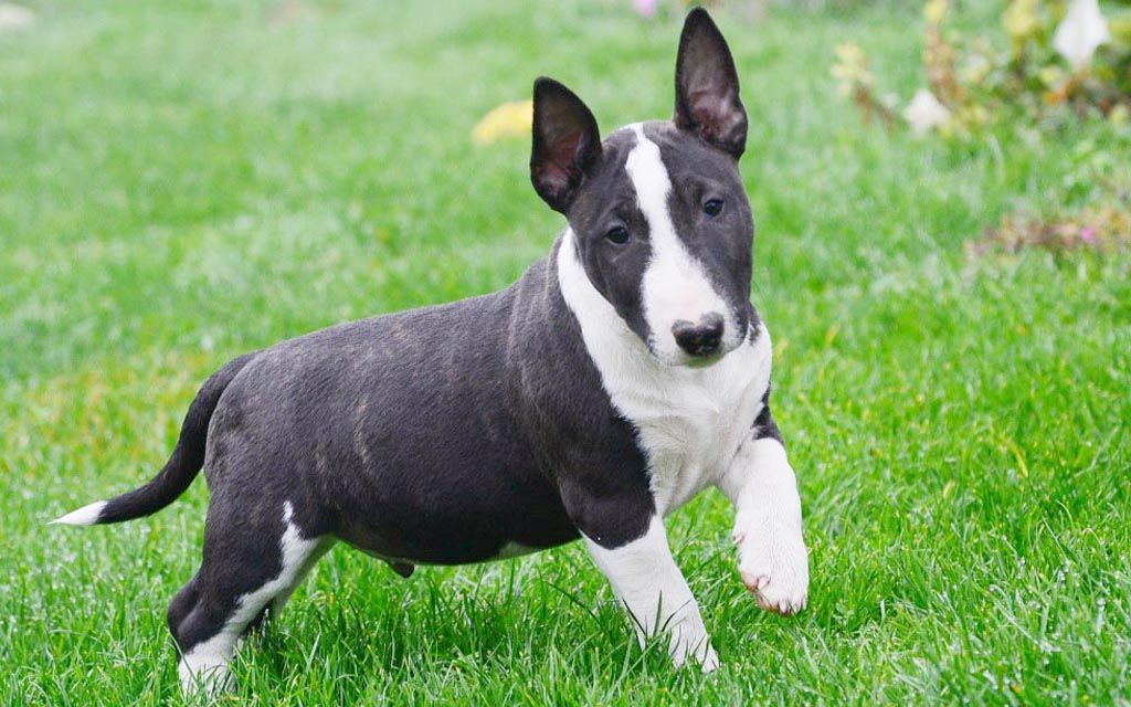 miniature bull terrier brindle picture