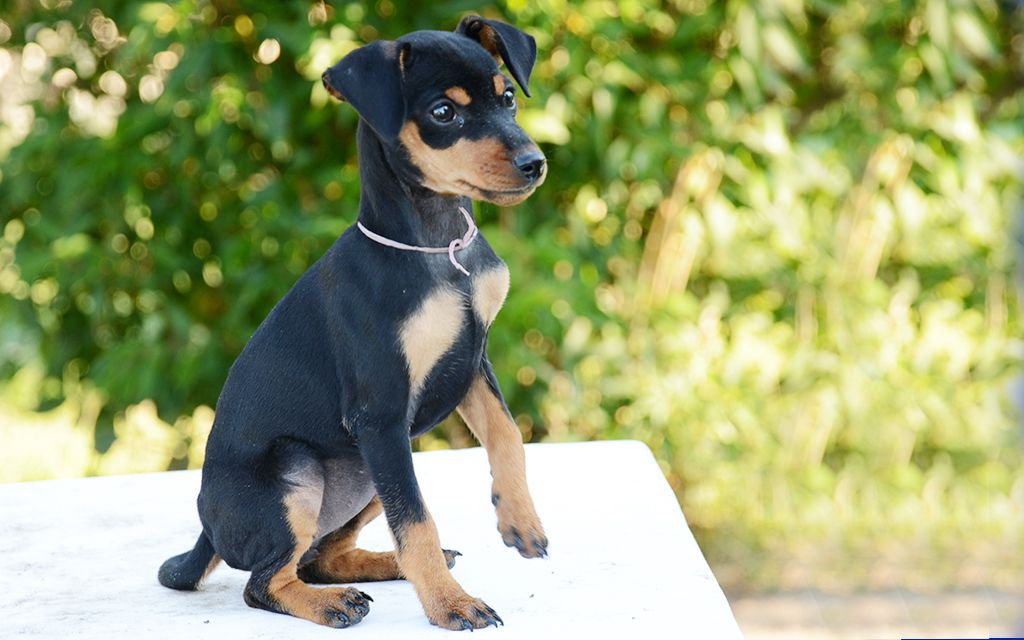 miniature pinscher black&tan