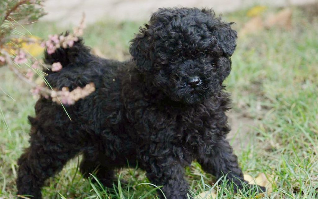 puli black puppy picture