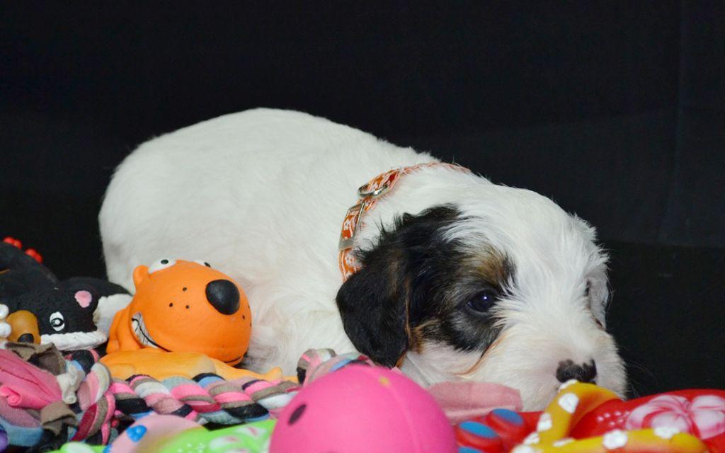 sealyham terrier white puppy picture