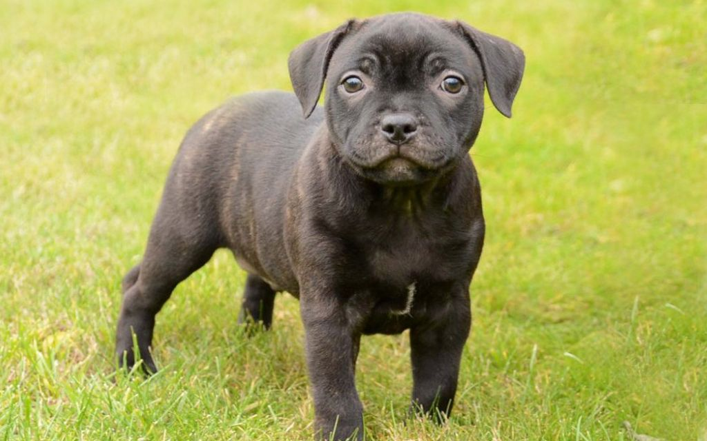 staffordshire bull terrier brindle puppy picture