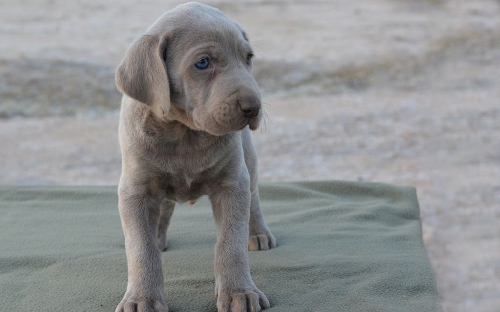 weimaraner grey puppy picture