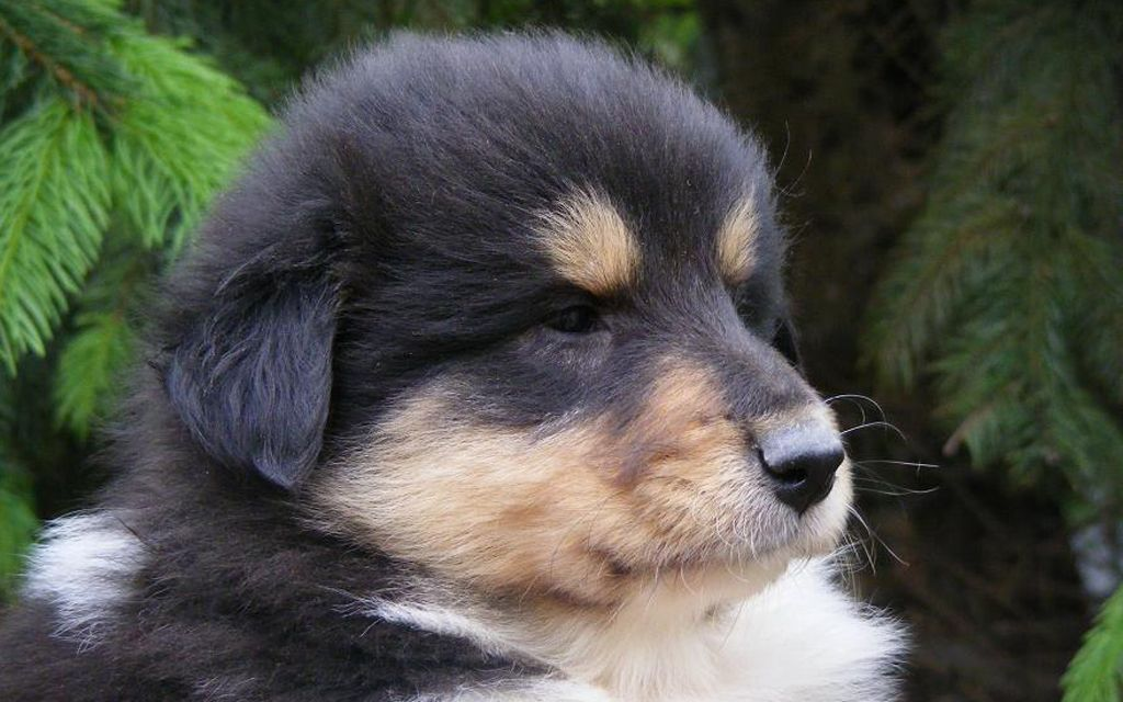 collie black white & tan puppy picture