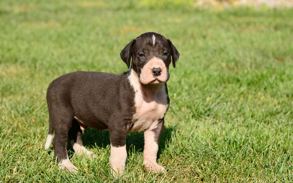 great dane mantle puppy image