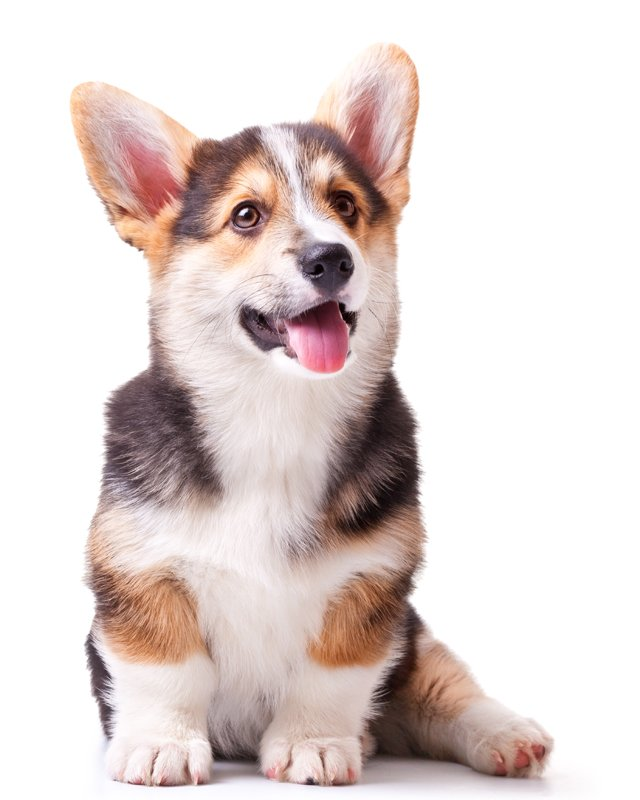 welsh corgi picture