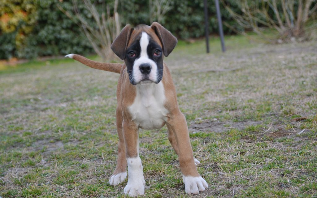 boxer fawn puppy picture